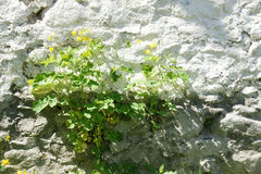 Flor de pared - 32 Foto de archivo libre de regalías