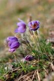 Flor de Pasque fotos de stock royalty free