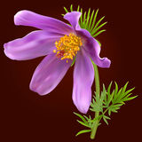 Flor de Pasque Fotografia de Stock