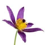 Flor de Pasque aislada Imagenes de archivo