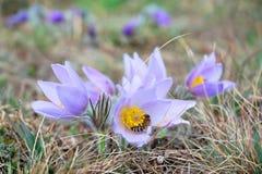 Flor de Pasque con una abeja de la miel Fotos de archivo libres de regalías
