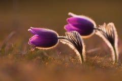 Flor de pasque da mola fotografia de stock