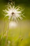 Flor de Pasque da montanha Fotos de Stock Royalty Free
