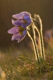 Flor de Pasque durante la lluvia de la puesta del sol fotos de archivo libres de regalías