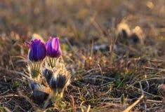 Flor de Pasque en foco imágenes de archivo libres de regalías