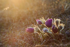 Flor de Pasque en la puesta del sol fotografía de archivo