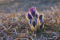 Flor de Pasque en la puesta del sol fotografía de archivo libre de regalías