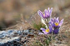 Flor de Pasque en resorte Imágenes de archivo libres de regalías