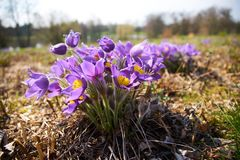 Flor de Pasque na flor; a mola está aqui fotografia de stock royalty free