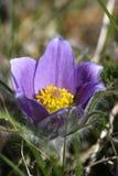 Flor de Pasque oriental imagens de stock royalty free
