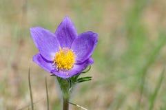 Flor de Pasque, patens del Pulsatilla Fotografía de archivo