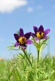 Flor de Pasque, patens del Pulsatilla Fotos de archivo libres de regalías