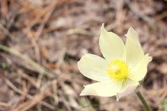 Flor de Pasque que florece en un claro del bosque Foto de archivo libre de regalías