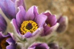 Flor de Pasqueflower em um fundo bege Fotos de Stock Royalty Free