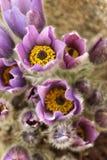 Flor de Pasqueflower em um fundo bege Foto de Stock