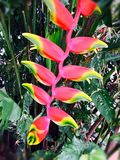Flor de Patuju foto de archivo
