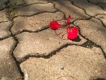 Flor de pavão Imagens de Stock Royalty Free