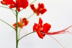 Flor de pavão alaranjada bonita imagem de stock