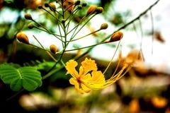 Flor de pavão amarela imagens de stock