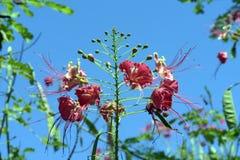 Flor de pavão sobre o céu azul profundo Imagens de Stock Royalty Free