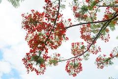 Flor de pavo real Imagen de archivo libre de regalías
