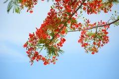 Flor de pavo real Fotografía de archivo libre de regalías