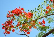 Flor de pavo real Fotos de archivo libres de regalías