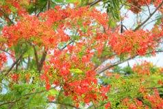 Flor de pavo real Fotos de archivo