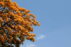 Flor de pavo real Imagenes de archivo