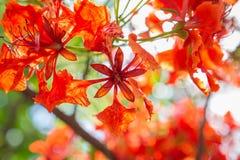Flor de pavo real en bokeh foto de archivo