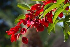 Flor de pavo real Flores rojas en el árbol del caesalpinia Mimosa de las flores Fotografía de archivo libre de regalías