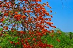 Flor de pavo real o pulcherrima del Caesalpinia Fotografía de archivo libre de regalías