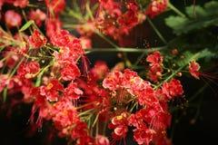 Flor de pavo real, pulcherrima del Caesalpinia Fotos de archivo libres de regalías