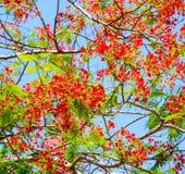 Flor de pavo real, pulcherrima del Caesalpinia que florece en verano Foto de archivo libre de regalías