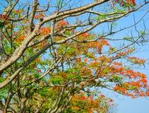 Flor de pavo real, pulcherrima del Caesalpinia que florece en verano Fotografía de archivo libre de regalías