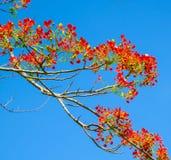 Flor de pavo real, pulcherrima del Caesalpinia que florece en verano Foto de archivo