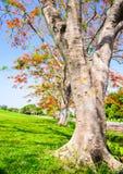 Flor de pavo real, pulcherrima del Caesalpinia que florece en verano Imagen de archivo libre de regalías