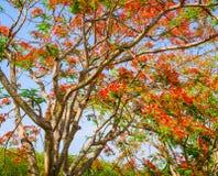 Flor de pavo real, pulcherrima del Caesalpinia que florece en verano Imágenes de archivo libres de regalías