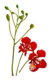 Flor de pavo real, regia del Delonix, con el manojo de florecimiento aislado encendido Imagenes de archivo