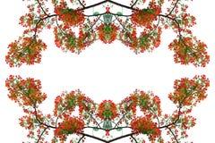 Flor de pavo real roja Foto de archivo