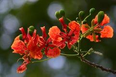 Flor de pavo real roja Foto de archivo libre de regalías