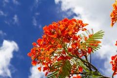 Flor de pavo real roja y verde Imágenes de archivo libres de regalías