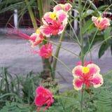 Flor de pavo real rosada Foto de archivo libre de regalías