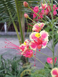 Flor de pavo real rosada Imagen de archivo libre de regalías