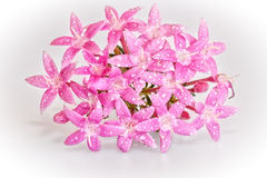 Flor de Penta Imagens de Stock Royalty Free