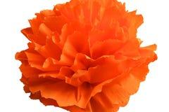 Flor de Peper Fotografia de Stock Royalty Free