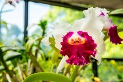 Flor de Peradeniya, primer tropical de la flora de Ceilán Fotografía de archivo libre de regalías