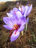 Flor de Perpel imagens de stock