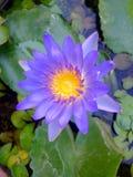 Flor de Perpul Foto de archivo libre de regalías
