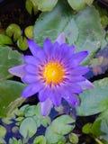Flor de Perpul Imagen de archivo libre de regalías